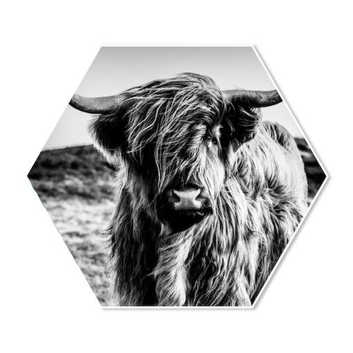 Hexagon Schotse Hooglander