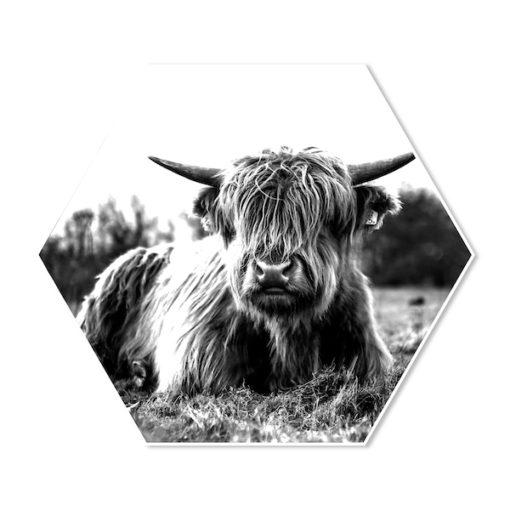 Hexagon Schotse hooglander Liggend in het Gras