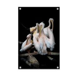 Tuinposter Pelikanen